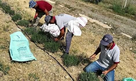 Tokat'ın mor gelinliği; Lavantalar hasat ediliyor