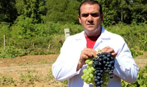 Anadolu'da üzüm üretiminde çeşitliliği artıracak araştırma tamam