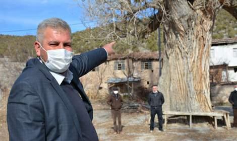 Tokat'taki 7 asırlık kavak ağacına koruma talebi