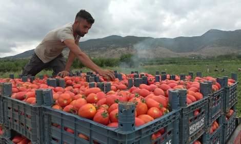 Tokat'ta domatesin kilosu tarlada 1 TL, markette 5 TL