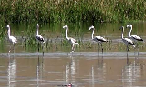 Flamingolar göç yolculuğunda Sulusaray'da konaklıyor