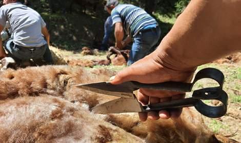 Tokat'ta imece usulü koyun kırkma