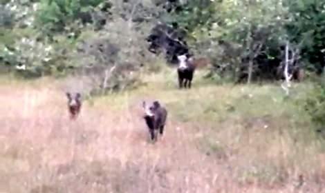 İneklerini otlatırken tilki ve domuzları görüntüledi