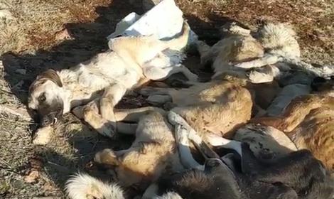 29 köpek, boş arazide baygın bulundu