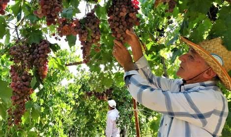 Tokat'ta 140 dönüm arazide 15 çeşit üzüm yetiştiriyor