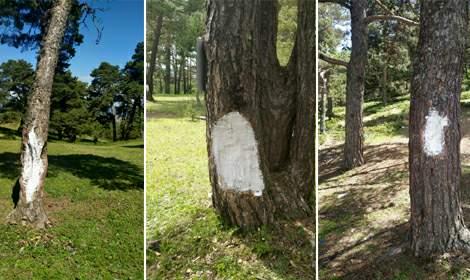 Topçam Yaylası'nda tahrip edilen ağaçlar koruma altında