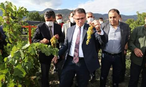 Vali Balcı, Narince üzümü bağ bozumu programına katıldı
